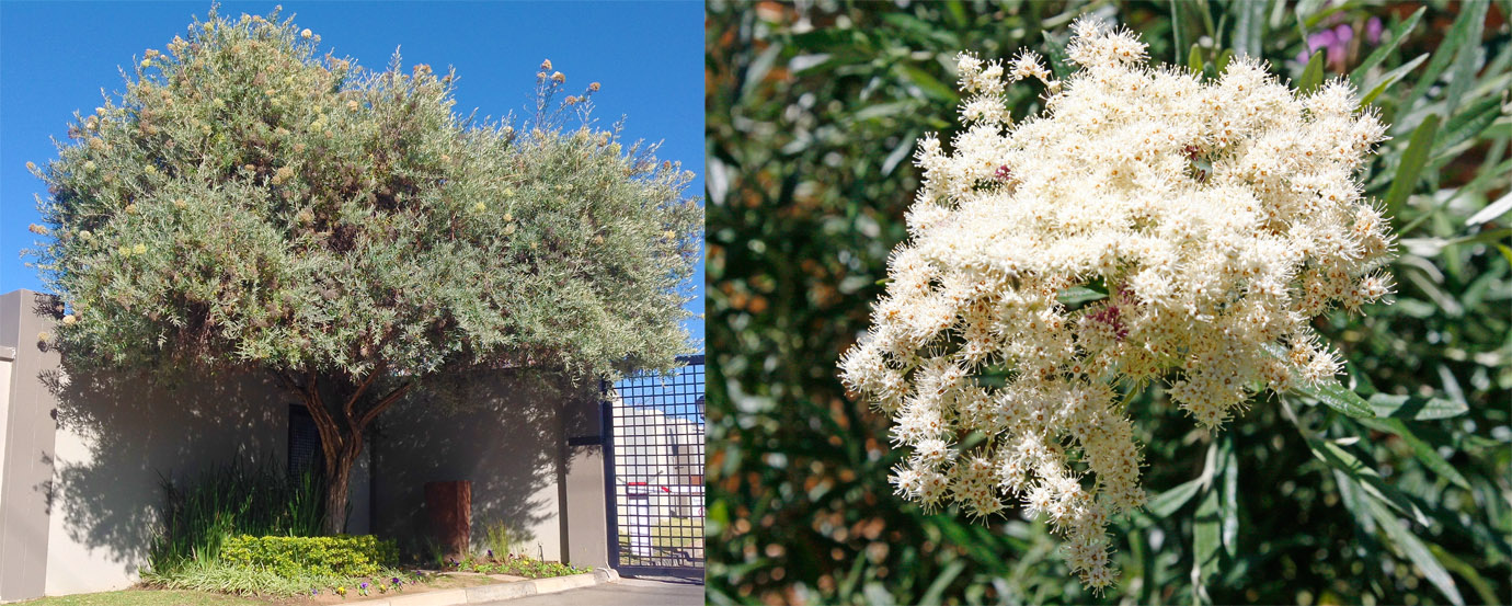 The Buddleja Saligna False Olive Has Become One Of Most Por Indigenous Trees In Gauteng And With Good Reason At 1 5 Metres Growth Per Year