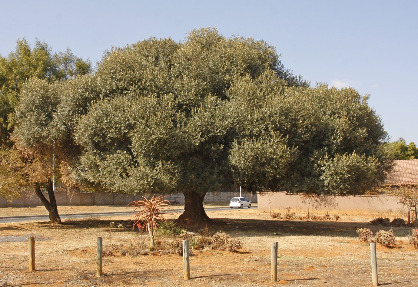 The Wild Olive Has Become One Of Most Widely Used Trees In Gauteng S Parks And Gardens It Is A Very Common Species Throughout Southern African